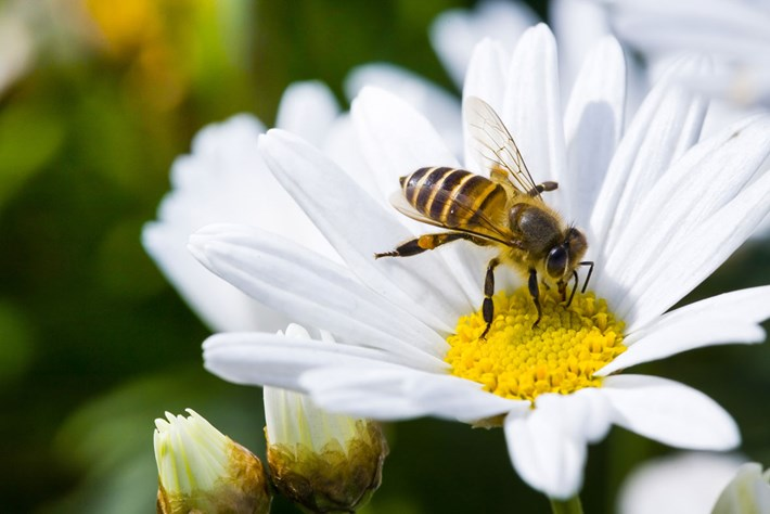 bee-on-daisy_2019-01-30.jpg