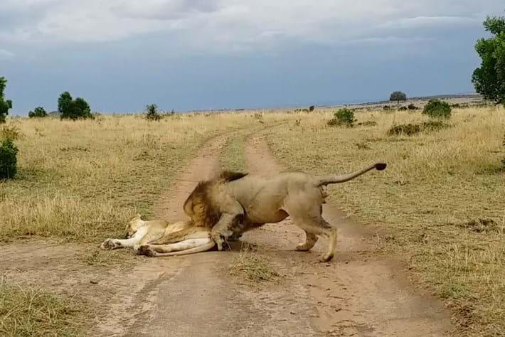 lion-wakes-lioness_2019-01-31.jpg