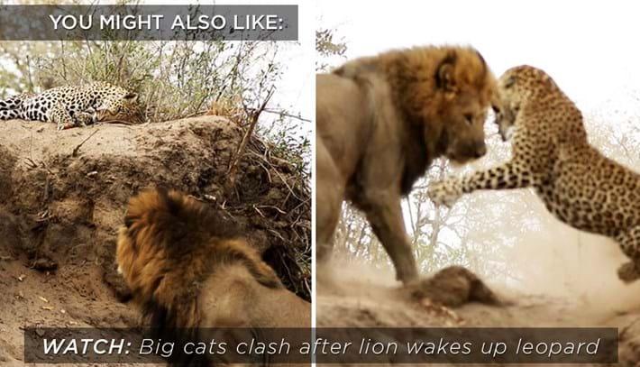 leopard-lion_related-2019-01-31.jpg