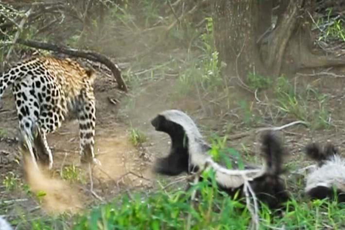 leopard-honey-badger_2019-02-05.jpg