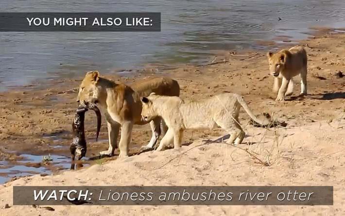 lionss-river-otter_2019-03-04.jpg