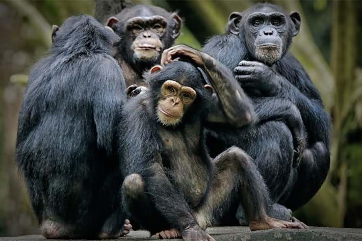 chimpanzees_page_2019-03-11.jpg