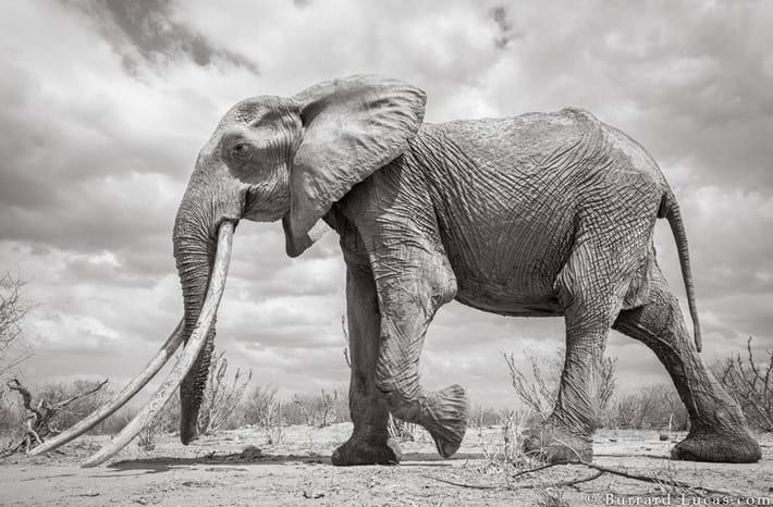 Kenya-elephant-tusker-2_2019-03-13.jpg
