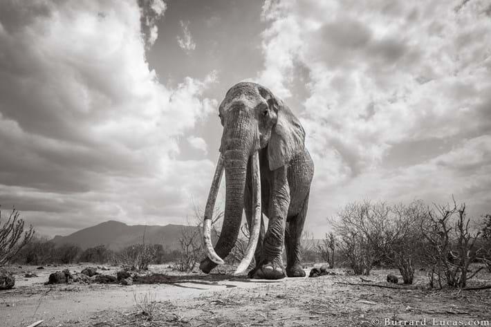Kenya-elephant-tusker-6_2019-03-13.jpg