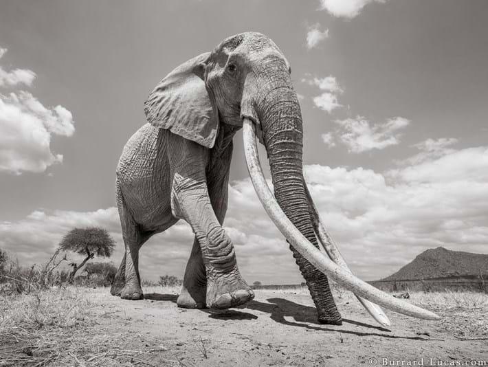 Kenya-elephant-tusker-1_2019-03-13.jpg