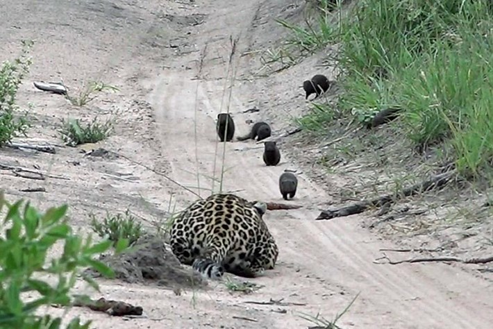leopard-mongoose_2019-03-21.jpg