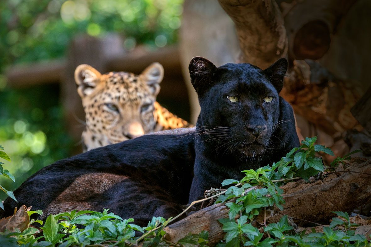 The Why What And Where Of The World S Black Leopards Natural World Earth Touch News