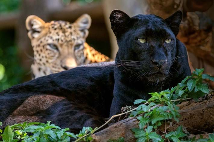 black-leopard-page_2019-03-26.jpg
