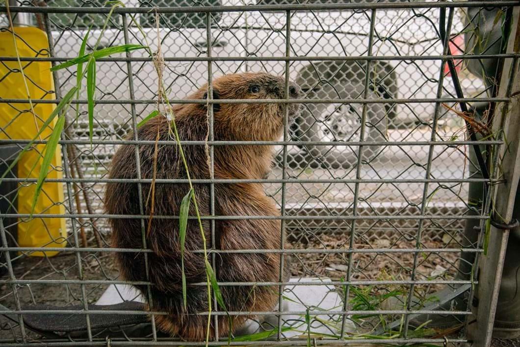 beaver-in-trap_2_2019-03-29.jpg