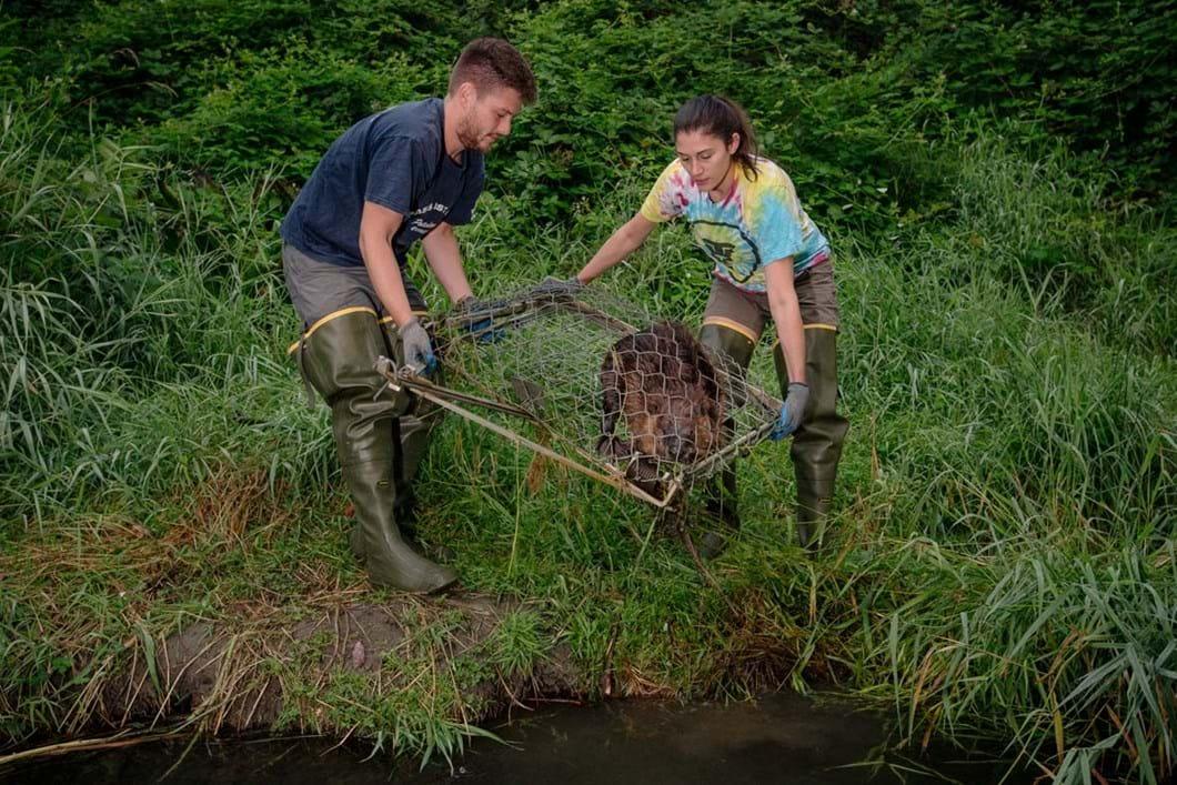 beaver-in-trap_2019-03-29.jpg