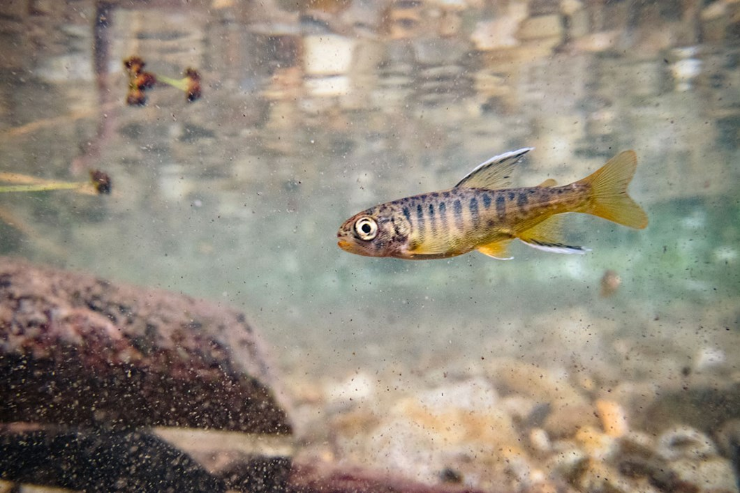 salmon-fry_2019-03-29.jpg