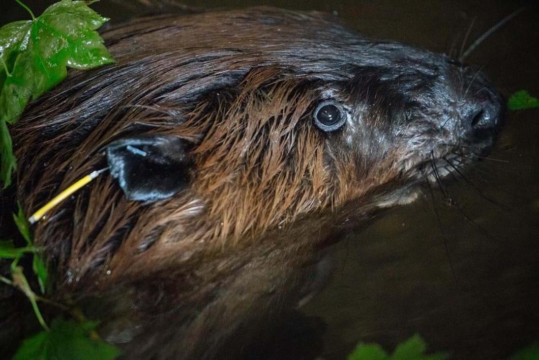 captured-tagged-beaver_2019-03-29.jpg