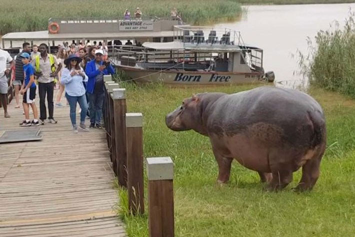 Taking selfies with a hippo is a really bad idea (video)