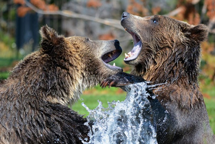 Behind the Scenes: The challenges of filming bears in the wild