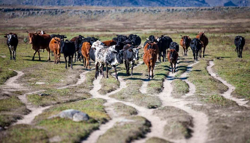 cattle-Ethiopia_2019-04-09.jpg