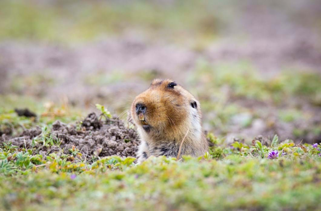 Ethiopian-Highlands-mole-rats_2019-04-09.jpg