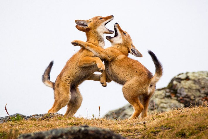 Ethiopian-wolf-pups-playing_page_2019-04-09.jpg