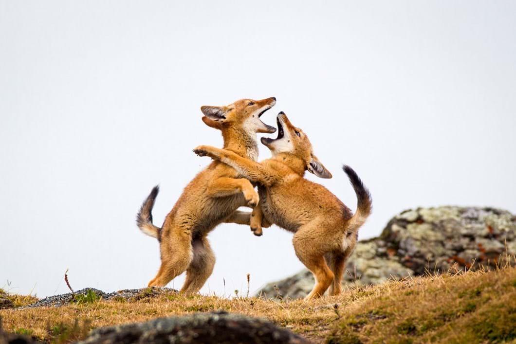 Ethiopian-wolf-pups-playing_2019-04-09.jpg