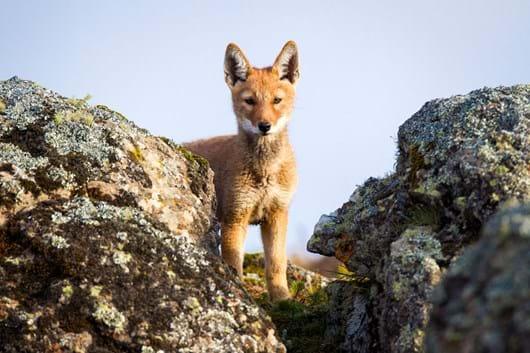 Ethiopian-wolf-pup_2019-04-09.jpg