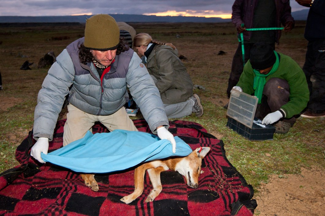 Ethiopian-wolf-covered-before-release_2019-04-09.jpg