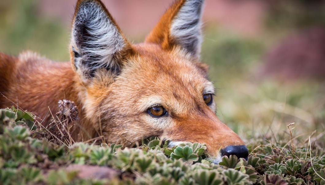Ethiopian-wolf-down-time_2019-04-09.jpg