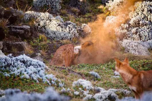Ethiopian-wolf-digging_2019-04-09.jpg