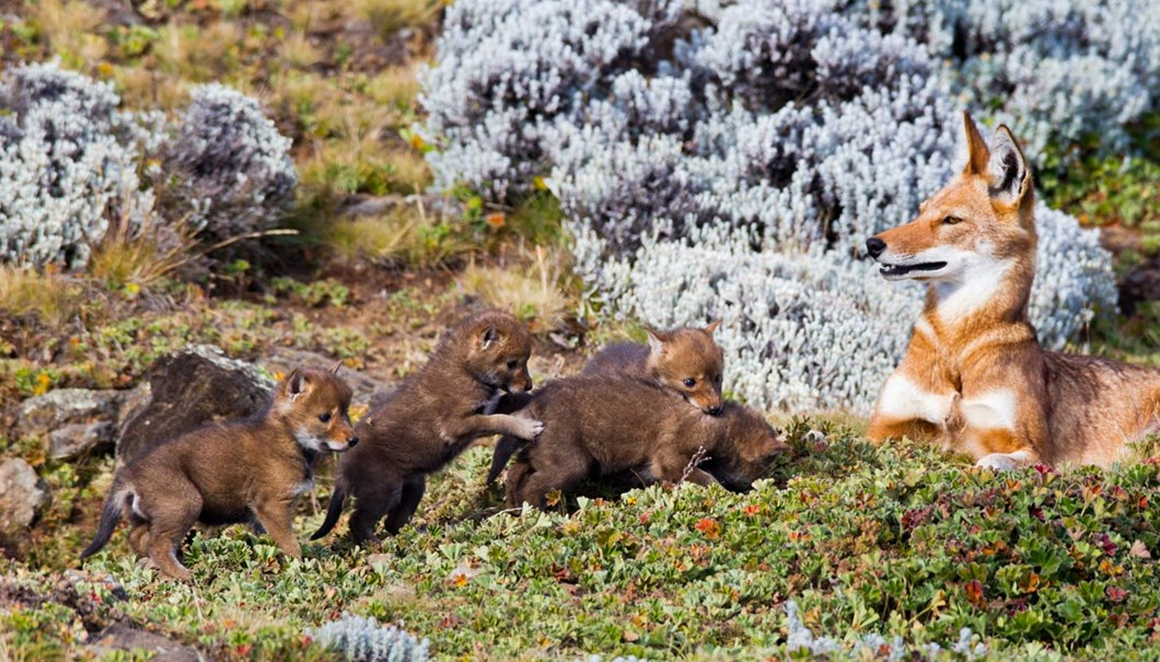 Ethiopian-wolf-and-pups_2019-04-09.jpg