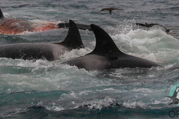 orcas-attack-blue-whale-page_2019-04-10.jpg