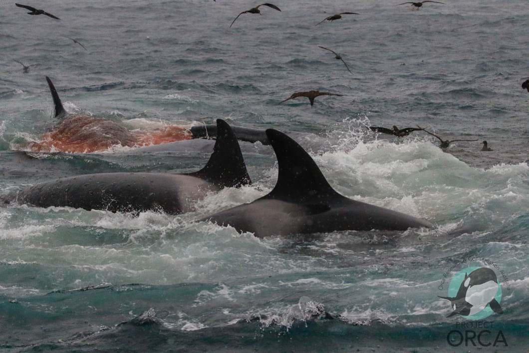 orcas-attack-blue-whale-5_2019-04-10.jpg