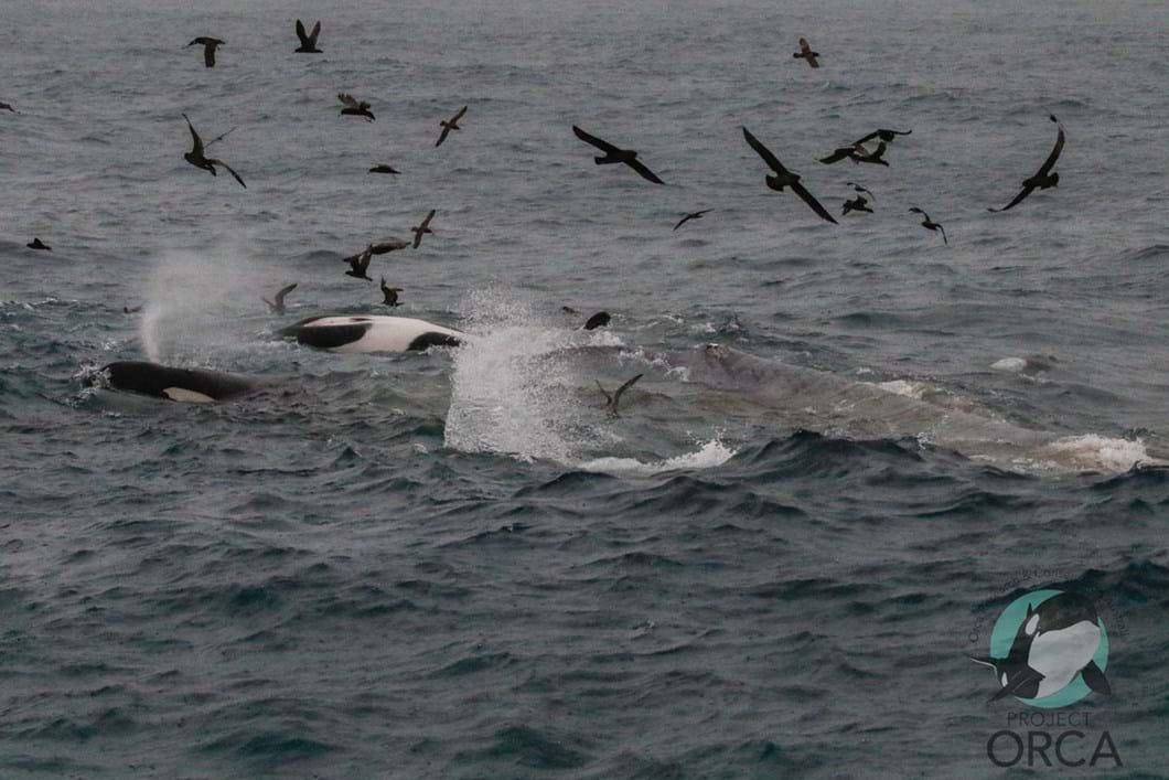 orcas-attack-blue-whale-4_2019-04-10.jpg