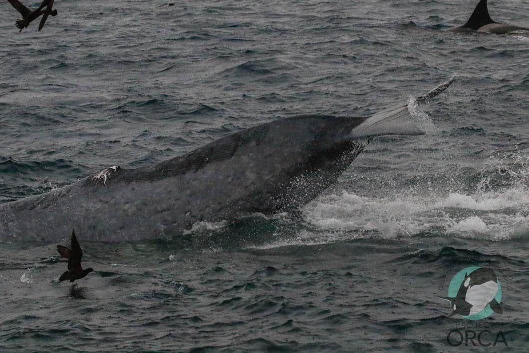 orcas-attack-blue-whale-1_2019-04-10.jpg