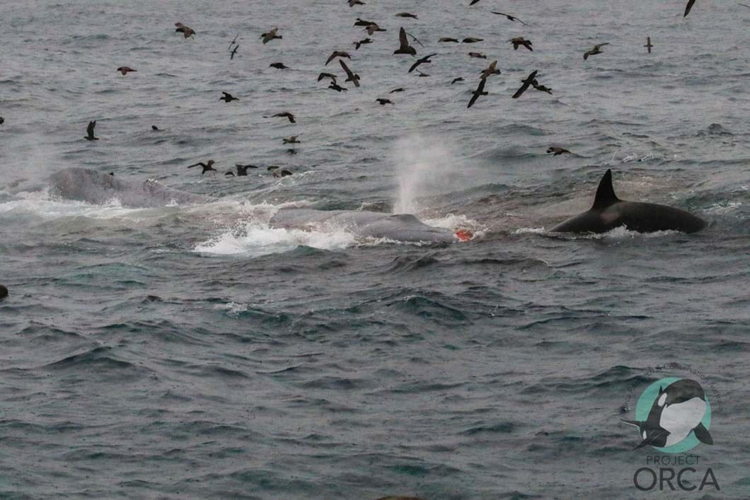orcas-attack-blue-whale-3_2019-04-10.jpg