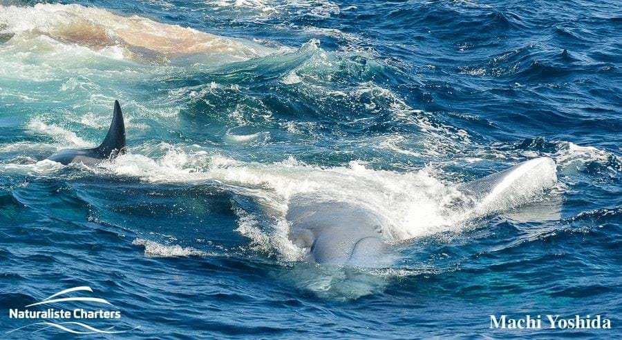 orcas-vs-blue-whale_4_2019-04-17.jpg