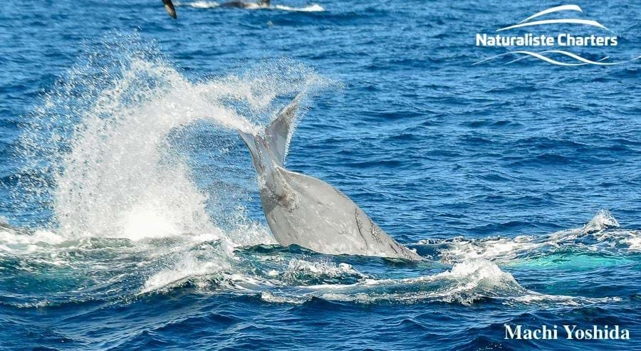 orcas-vs-blue-whale_1_2019-04-17.jpg