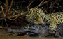Watch: Jaguar takes down massive caiman in tense underwater battle