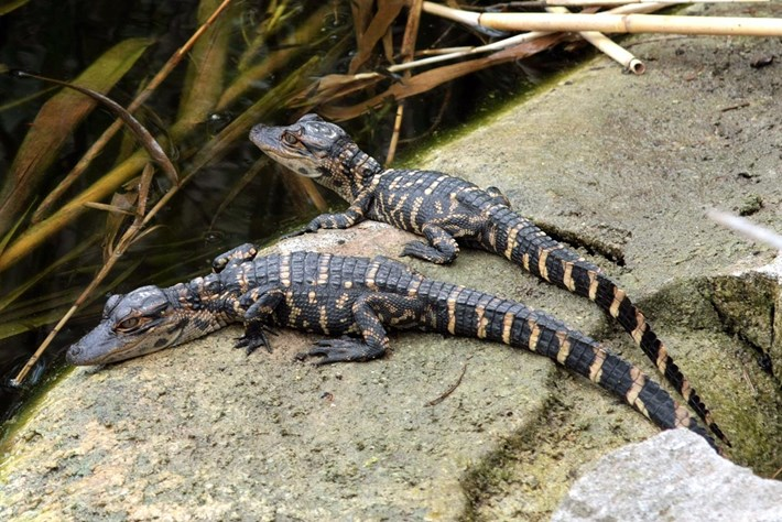 baby-alligators_2019-05-11.jpg