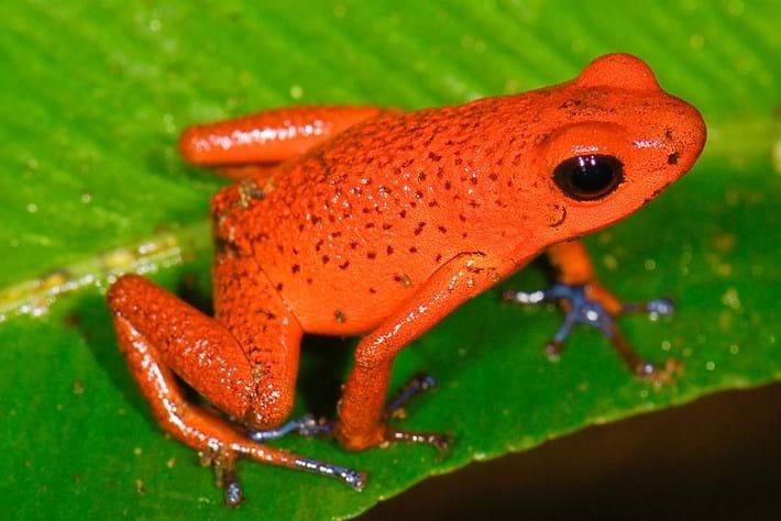 strawberry-poison-frog_2019-05-11.jpg