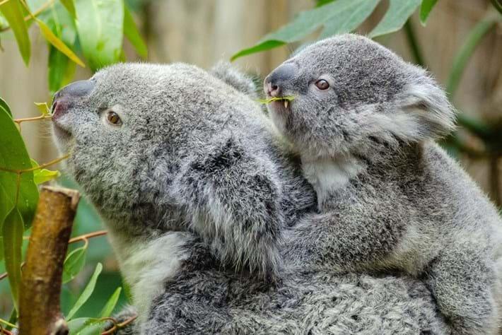 koala-and-baby_page_2019-05-15.jpg
