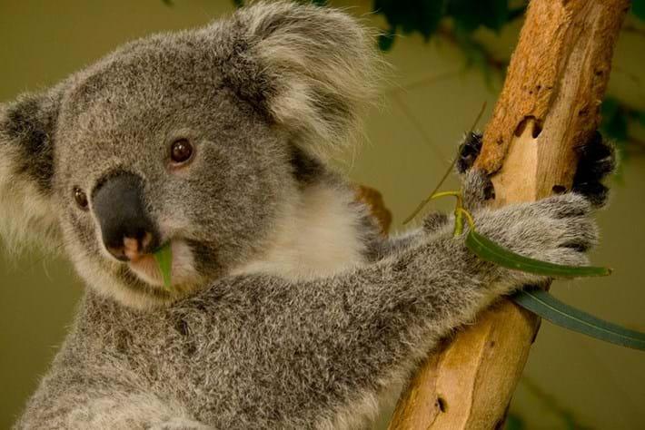 koala-eating_2019-05-15.jpg