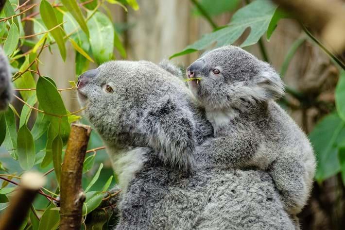 koala-and-baby_2019-05-15.jpg