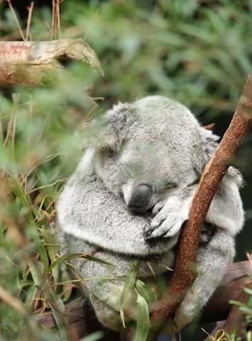koala-sleeping_2019-05-15.jpg