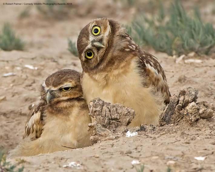 Burrowing-owlets_2019-05-16.jpg