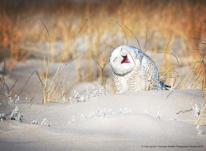 laughing-snow-owl_2019-05-16.jpg