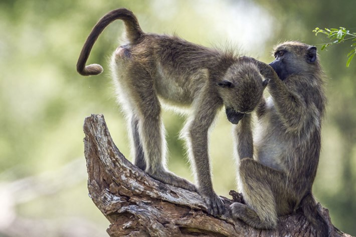 chacma-baboons-grooming_page_2019-05-21.jpg
