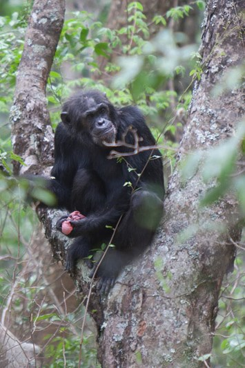 chimp-eating-antelope_2019-05-24.jpg
