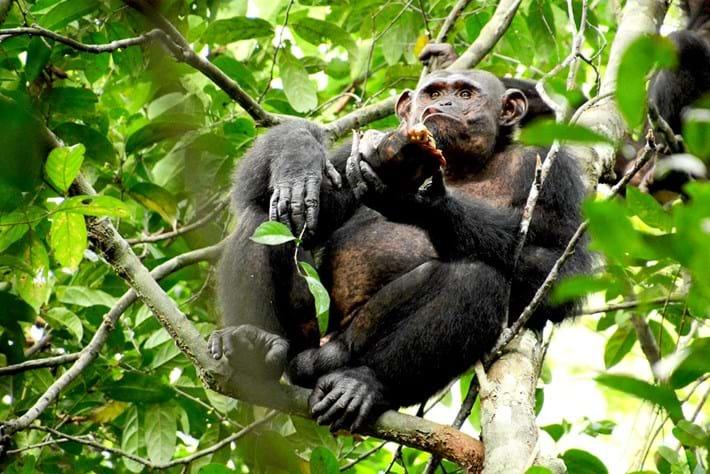 chimp-eating-turtle_2019-05-24.jpg