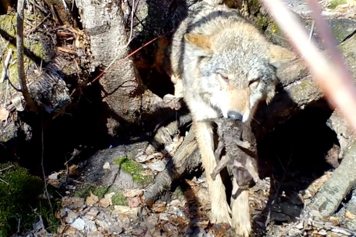 wolf-rescues-cub_page_2019-05-24.jpg