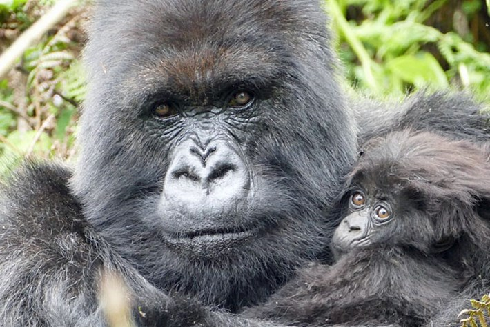 Poppy-gorilla-with-last-infant_page_2019-05-30.jpg