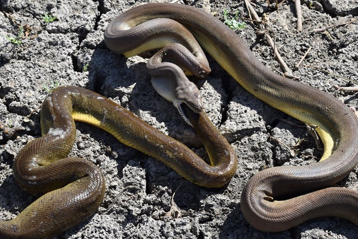 olive-python-regurgitates-python_page_2019-06-03.jpg