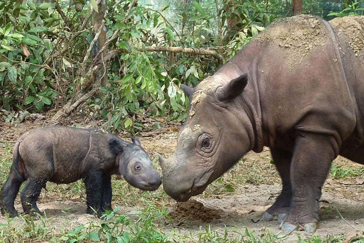 Scientists race to save the Sumatran rhino as last male in Malaysia dies